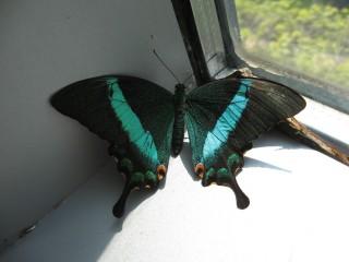 Papillio palinurus